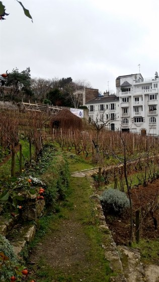 The only remaining vineyard in Paris!