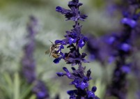 salvia and polinators (2)