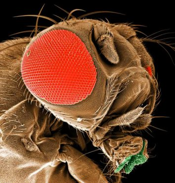 gene-fruitfly-l