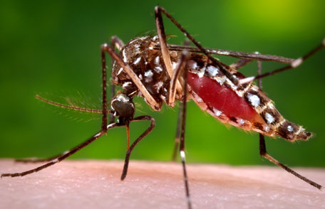 A closeup image of a mosquito biting the arm of a human. These mosquitoes can carry the Zyka virus.