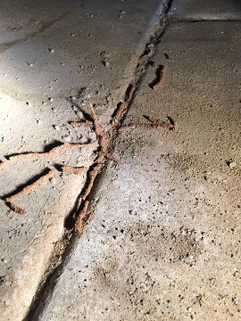 An image of termites in Arizona and their tubes sprawling out from a crack in concrete
