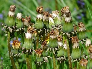 An image of a dead dandelion weed plant