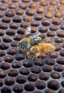 An image of two Africanized Honey Bees tending a honeycomb