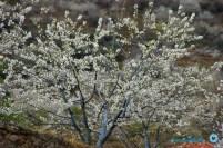 cerezos en flor (Valle del Jerte) (4)