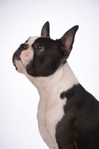 Merion - Boston Style Perfect Impression Star Absolutely Cosmpolitan boston terrier