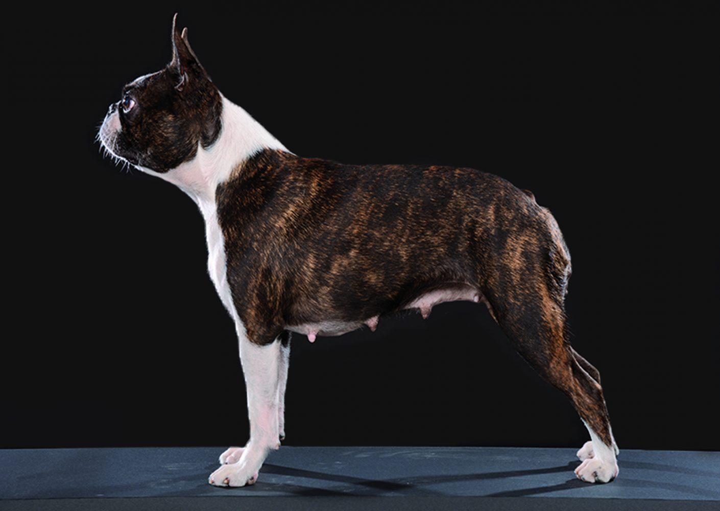 Jillyen joysee the best absolutely cosmopolitan absolutely cosmopolitan boston terrier kutya kennel hungary magyarország