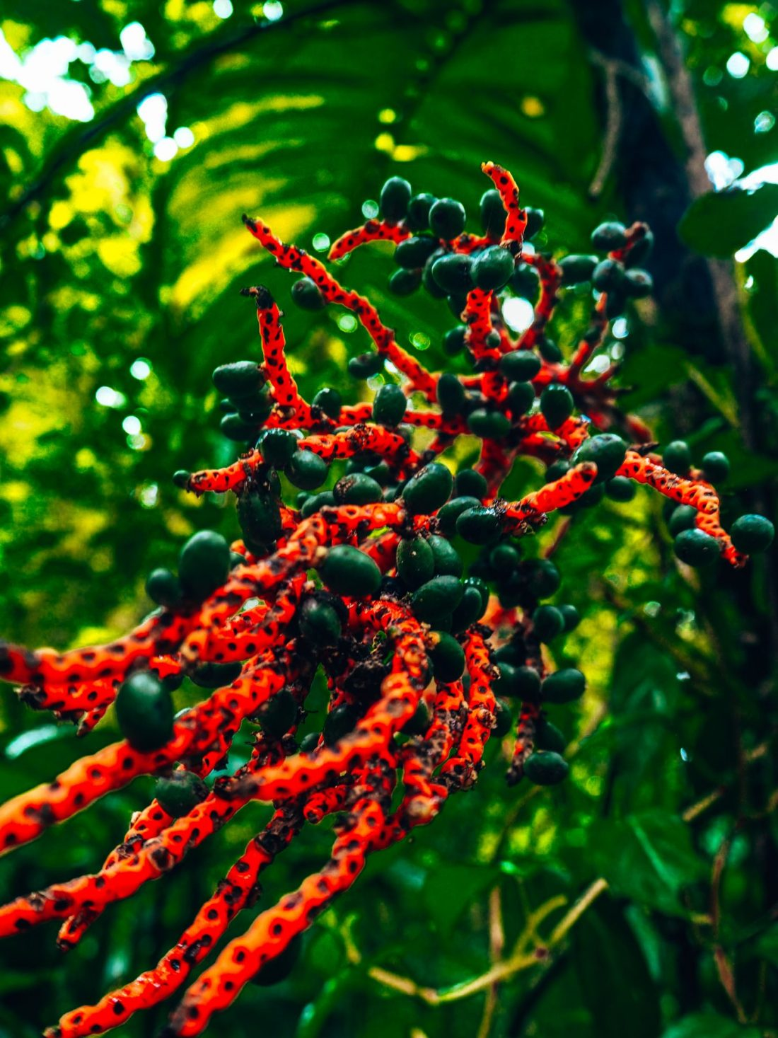 Macro nature shots from Monteverde, red spotted plant with berries close up in the jungle