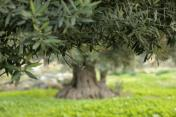 Olive Trees <3