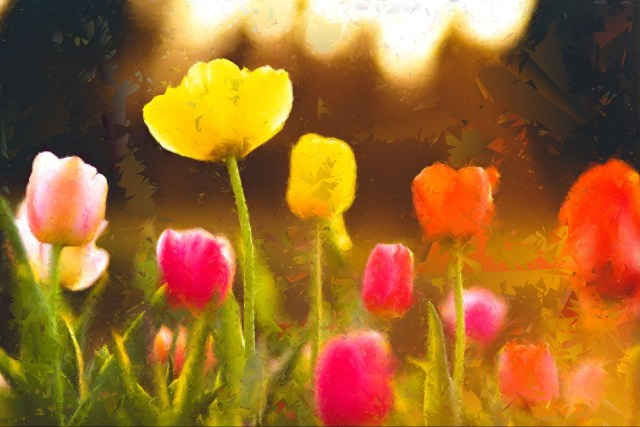 tulips bloom