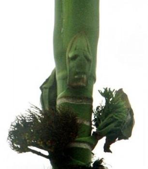 Volto umano dell'albero fantasma