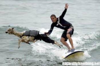 Pisco l'alpaca che fa surf