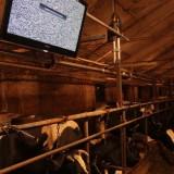 Installa Televisori LCD per produrre più latte