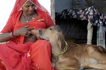 Donna allatta vitello