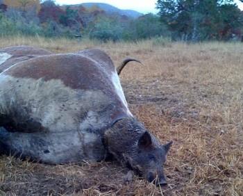 Mucca partorisce maiale