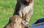 scimmie smontano mercedes1