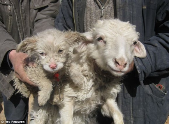 Cane pecora nato in Cina