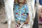 Bimbo allatato da mucca (1)