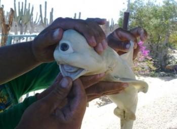 squalo ciclope (1)