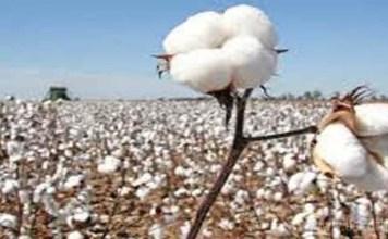 cotton production decrease in amreli-bhavnagar and botad