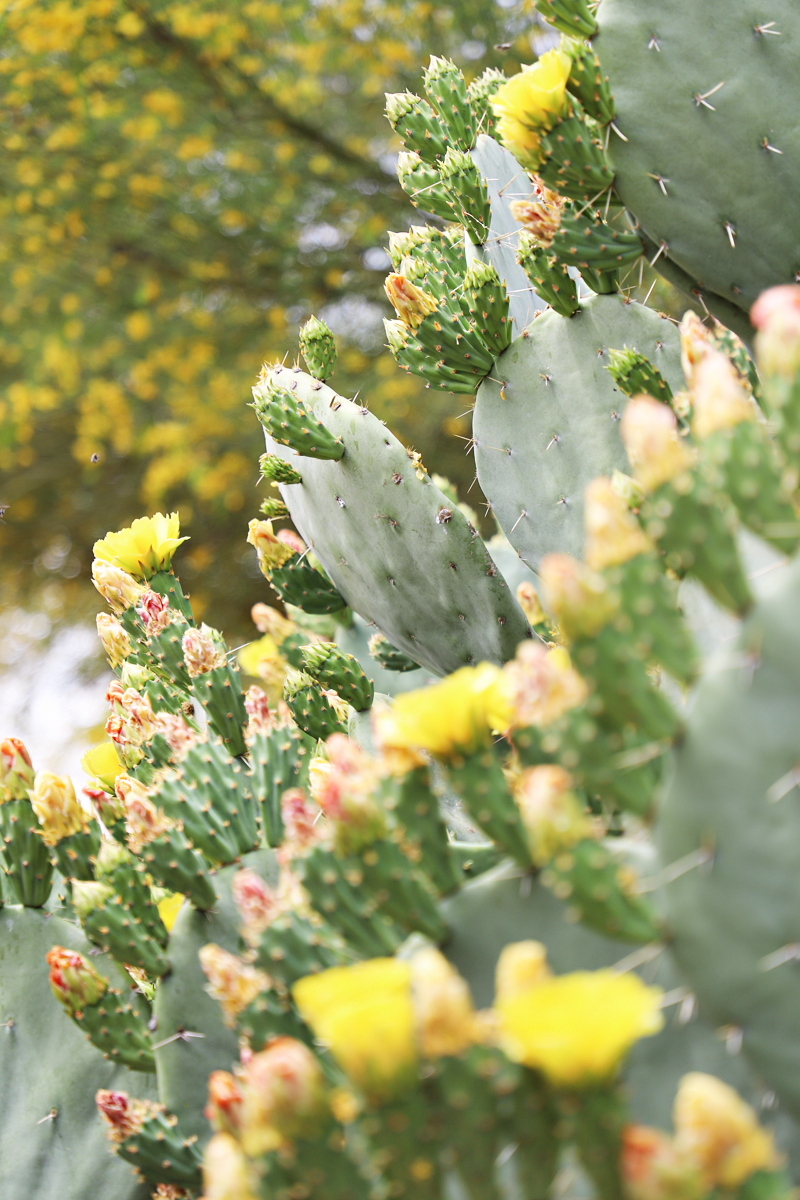 yellow blooming flowers on cactus