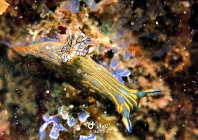nudibranquioroboastra