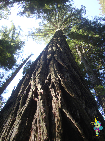 Redwood trees are the tallest in the world