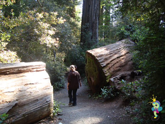 Big trees lay where they fell (unless they are blocking a trail)