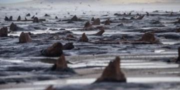 ظهور أشجار قديمة في شواطئ ويلز