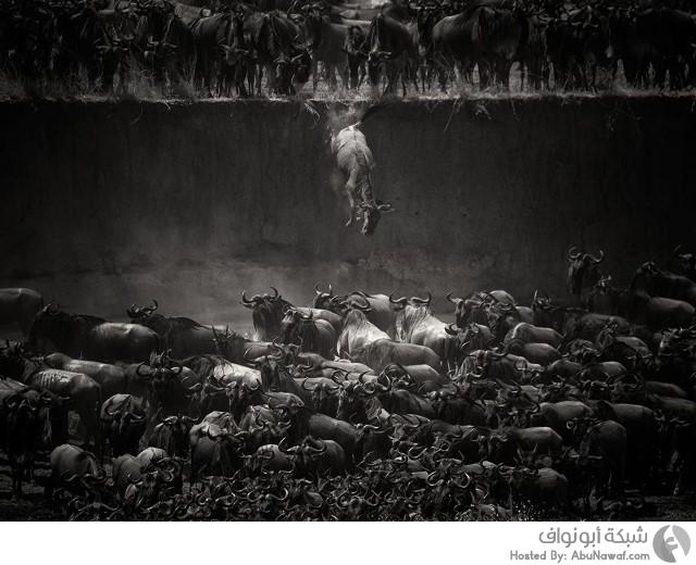 حيوانات مهاجرة في نهر مارا في تنزانيا