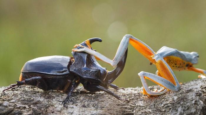 """""""Hendy Mp""""، هو مصور الحياة البرية المحترف من اندونيسيا، قام بالتقاط مجموعة الصور الإبداعية لضفدع كون صداقة جديدة مع الخنفساء، وقام بركوب ظهر الخنفساء وكأنه فارس في سباق الخيول.  هذه الصور الفريدة تم التقاطها في منطقة سامباس، اندونيسيا. وهي واحدة من أكثر المشاهد الطبيعية المميزة، التي تعطي نظرة قريبة عن حياة الحشرات والضفادع، باستخدام تصوير الماكرو الجميل."""