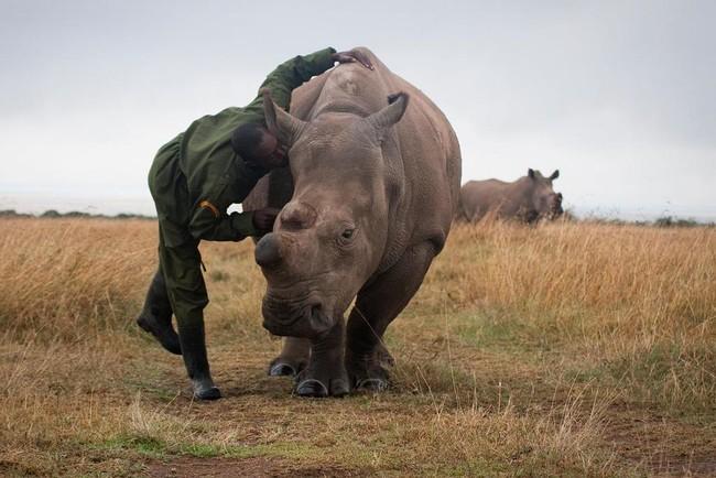ذكر وحيد القرن الأبيض