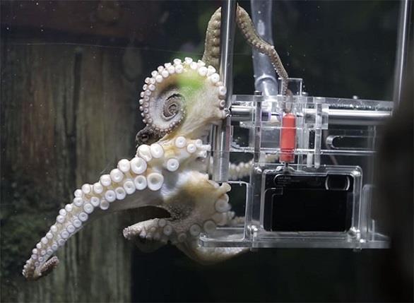 أخطبوط مصور