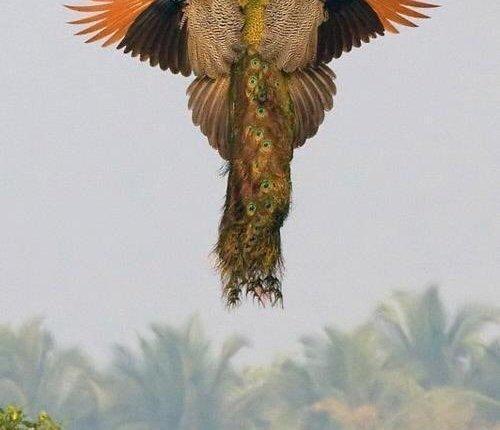 طاووس طائر 18021610