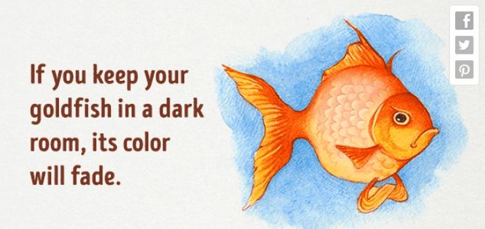 شحوب لون السمكة الذهبية في الغرف المظلمة