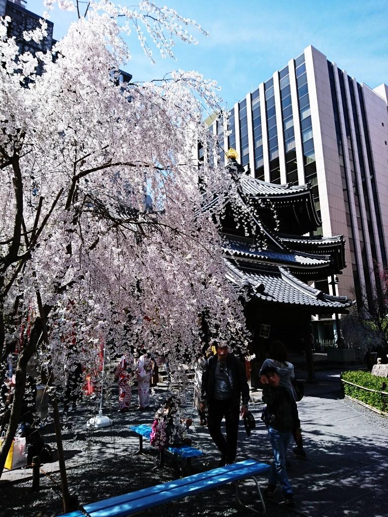 六角堂(紫雲山頂法寺)の桜