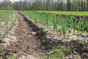 Garlic Rows