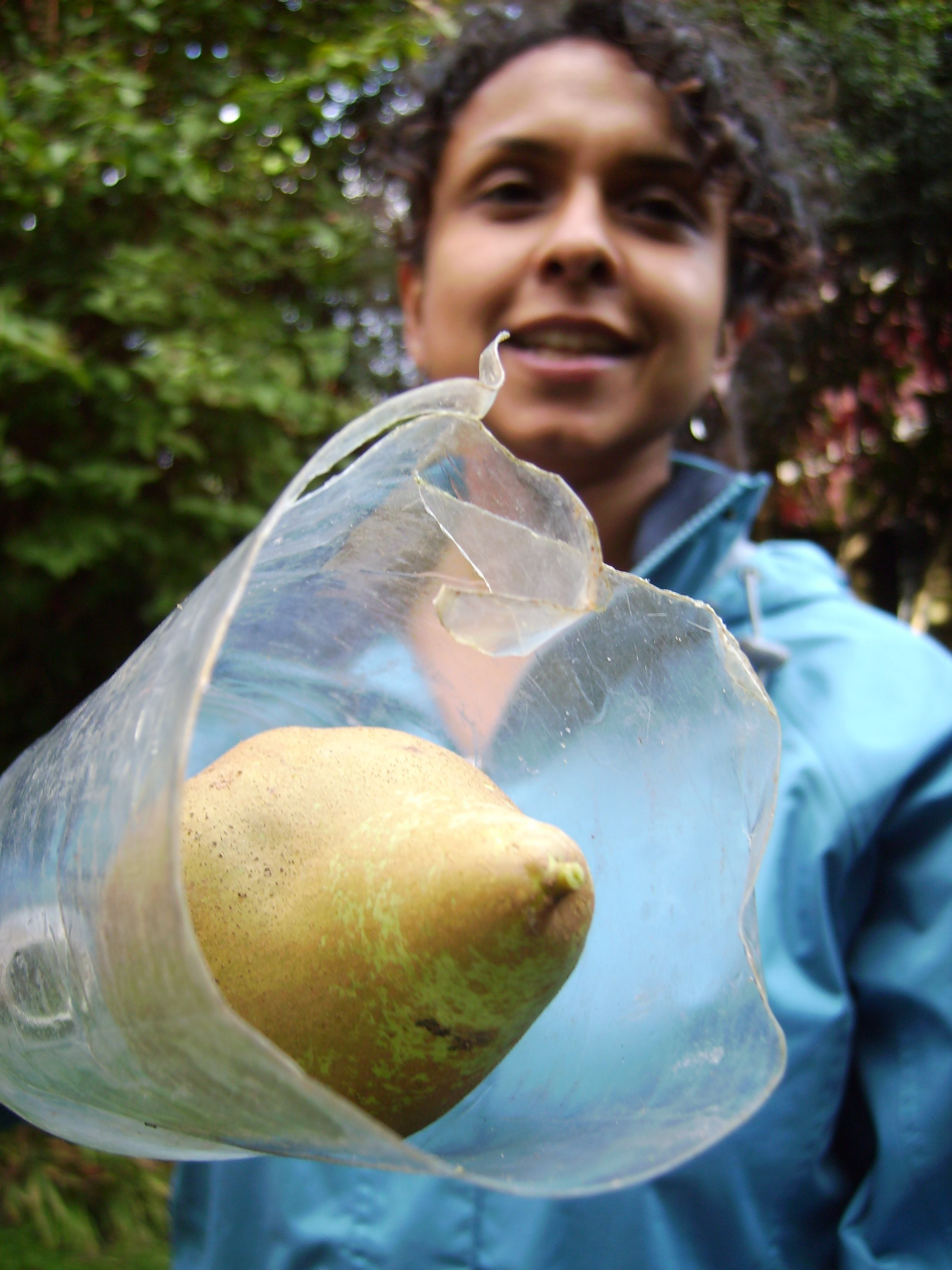 Pear picked with homemade fruit picker