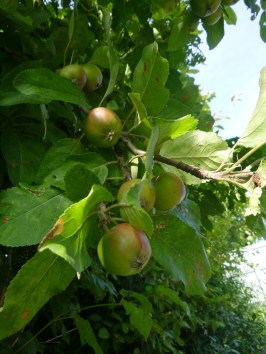 apples appearing...
