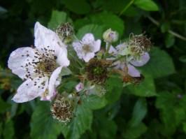 Blackberry flowers & berry drupelets..