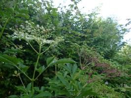 Elderflowers to Elderberries