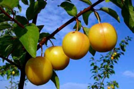 laden with mirabelles Golden-Sphere-Mirabelle-Plums