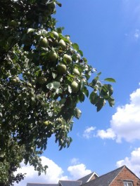 urban pears - 20150808_150844