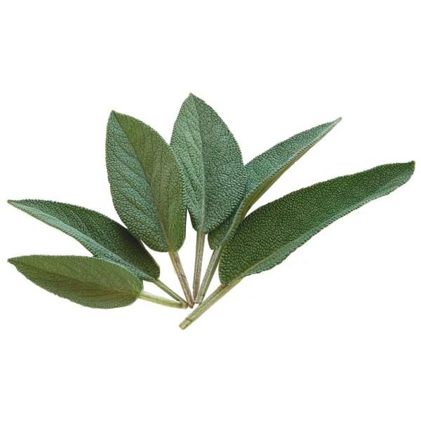Fresh Organic Sage Herb
