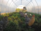 hens in the hoophouse