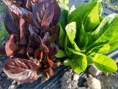 KT Farm lettuce