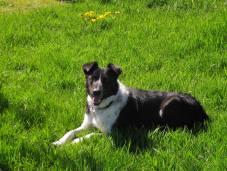 resting sheep dog, bright sun & green grass