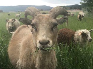Roving Ram Ranch 1