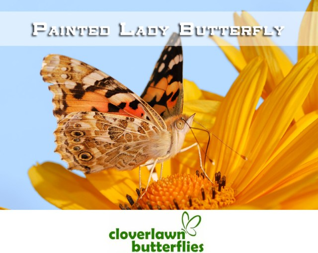 Learn all about the Painted Lady Butterfly including life cycle, facts and more from Cloverlawn Butterflies Butterfly Release Company