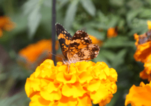 Silvery_CheckerSpot_Butterfly_Marigold