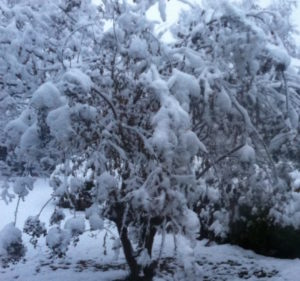 crepe myrtle in snow